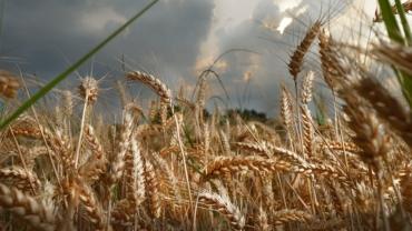 campo di grano mulino Ballesio Torino