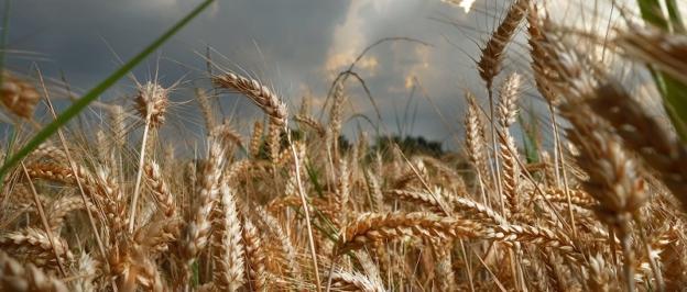 Il grano è maturo, il nuovo raccorto è pronto!